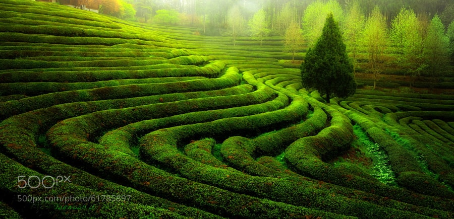 Photograph Green tea field by Jaewoon U on 500px