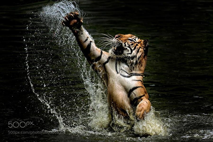 Photograph Tiger C L A W S by yudi lim on 500px