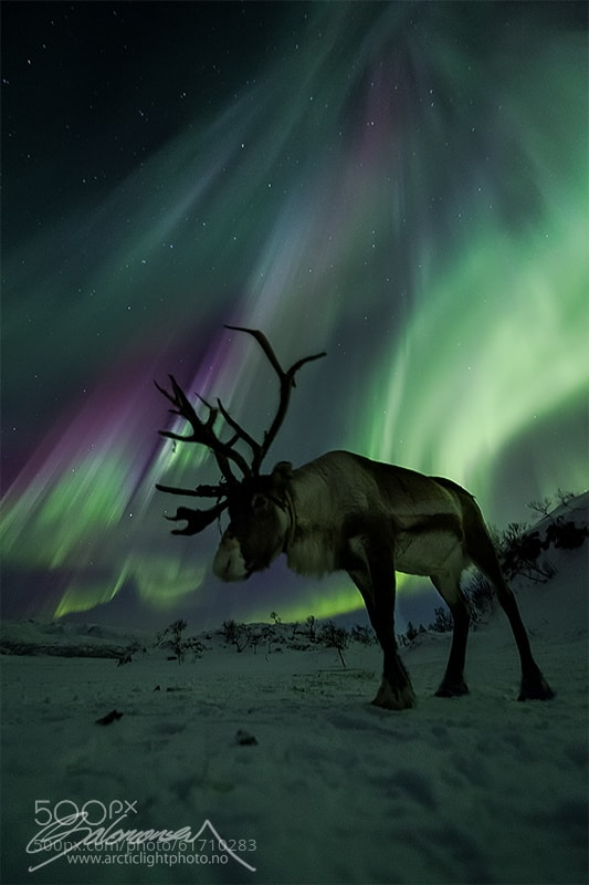 Photograph Norwegian Caribou by Ole C. Salomonsen on 500px