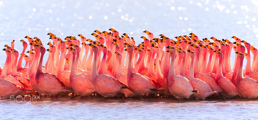 Photograph Bolivian Flamingos by Pedro Szekely on 500px