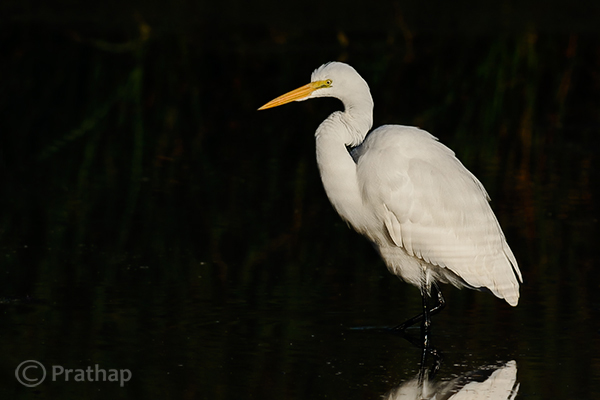 8 Nature Photography Simplified Bird Photography Post Processing Tips Great Egret