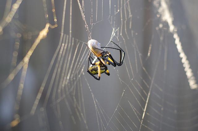 spider-grub