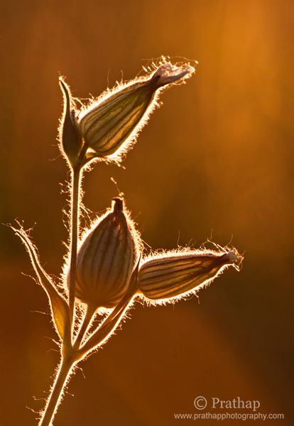 6 Pintura con luz Arte en la naturaleza Flores retroiluminadas en Horas doradas de puesta de sol Naturaleza Fauna silvestre Fotografía de aves por Prathap