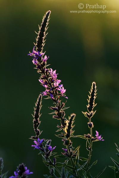 9 Flores retroiluminadas en horas doradas en la puesta del sol Rollins Savannas Forest Preserve Gryaslake IL Naturaleza Fotografía de aves de vida silvestre macro por Prathap