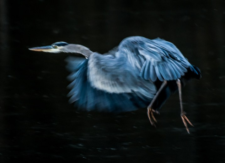 Great Blue Heron in Fight was the subject of this low light image. Exposure 1/250 of a second, f/5.6, ISO 1250. Here using the combination of slower shutter speed and a higher ISO to create the blur of the wings and panning to match the speed of the fight of the heron.