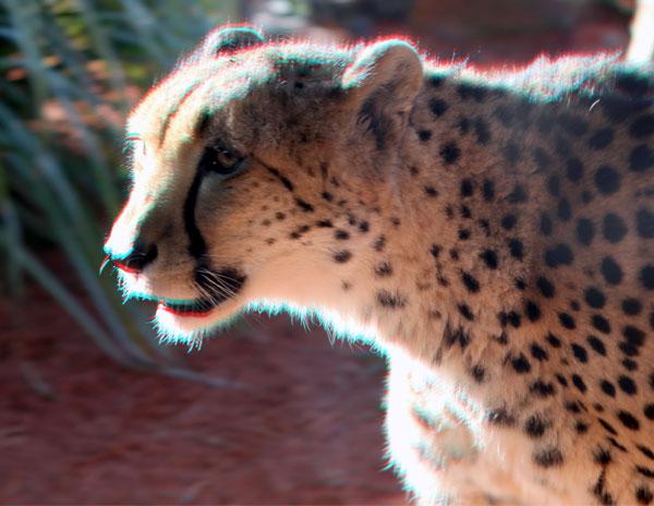 CA Cheetah High Contrast