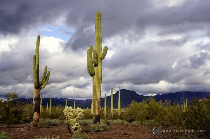 Stormy Day at Organ Pipe Cactus National Monument by Anne McKinnell
