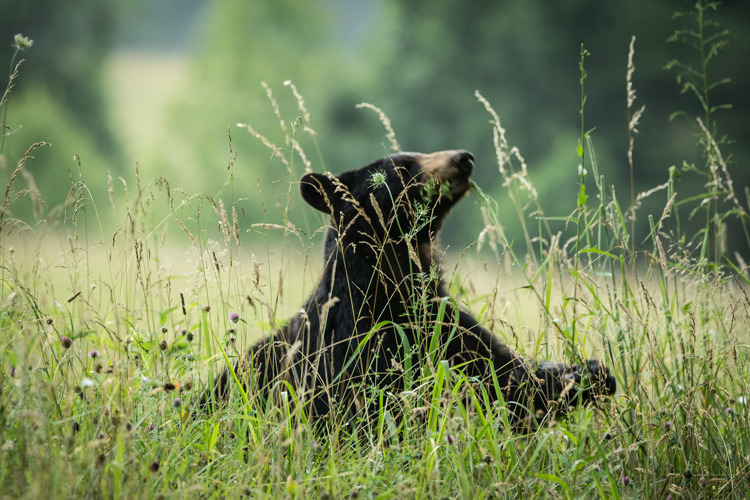 In this image the grass in the foreground made focusing difficult. Notice that the grass in in focus but the bear is out of focus.