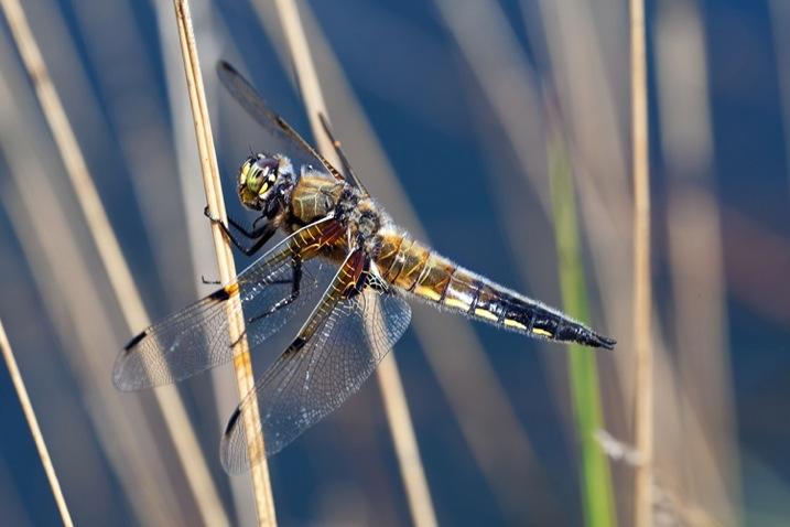 DragonflybluepoolDPS