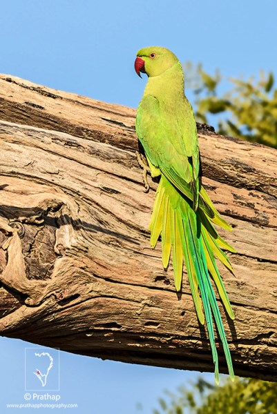 Rose-Ringed Parakeet displaying all its color in soft Sunlight in Bharatpur Bird Sanctuary. I sm so lucky to have been able to capture this beautiful parakeet. I love it!