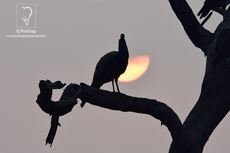 20-The-Most-Useful-Bird-Photography-Tips-for-Beginners-by-Prathap-Nature-Photography-Simplified