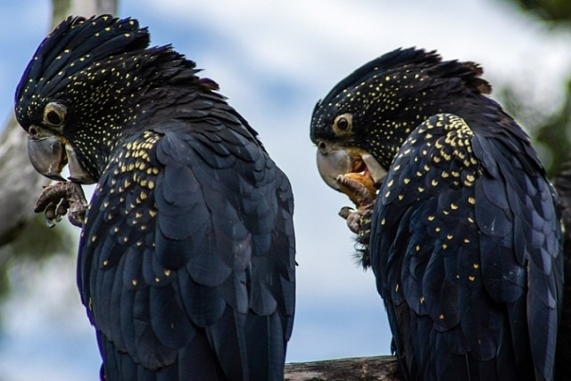 red tailed black cockatoos captured with a tamron 28-200 lens