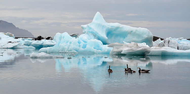 Iceland Glacier Lagoon geese 750 px