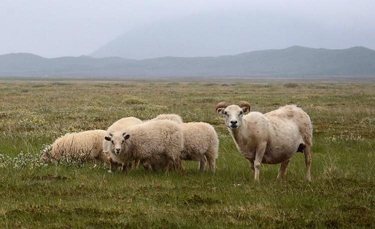 Iceland goats 750 px