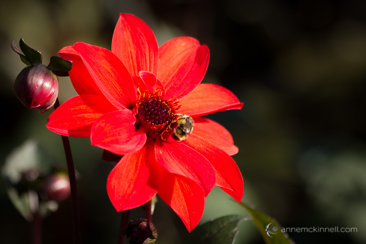 Red Flower with Bee