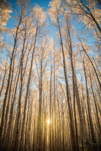 Low winter sun, and frosted birches near Fairbanks, Alaska.