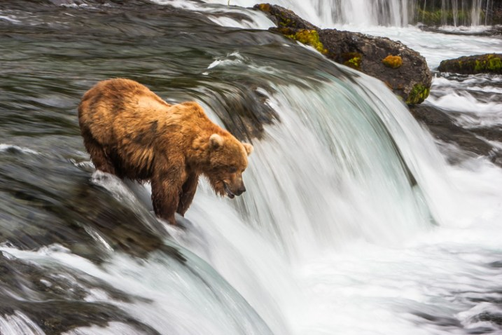 A Brown Bear fishes for salmon at Brooks Falls in Katmai National Park, AK, USA.