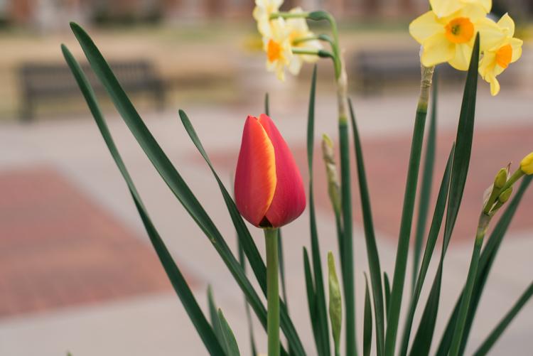 microcomposition-tulip-1
