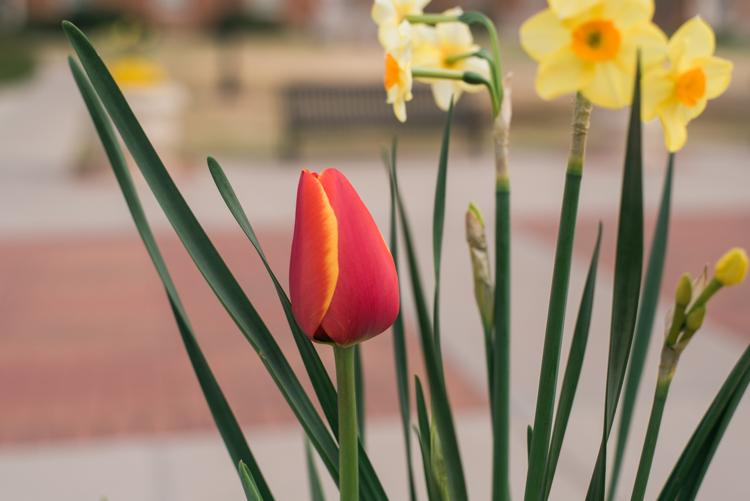 microcomposition-tulip-3