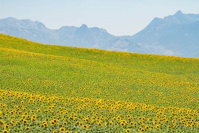 Sunflowers ranked 4