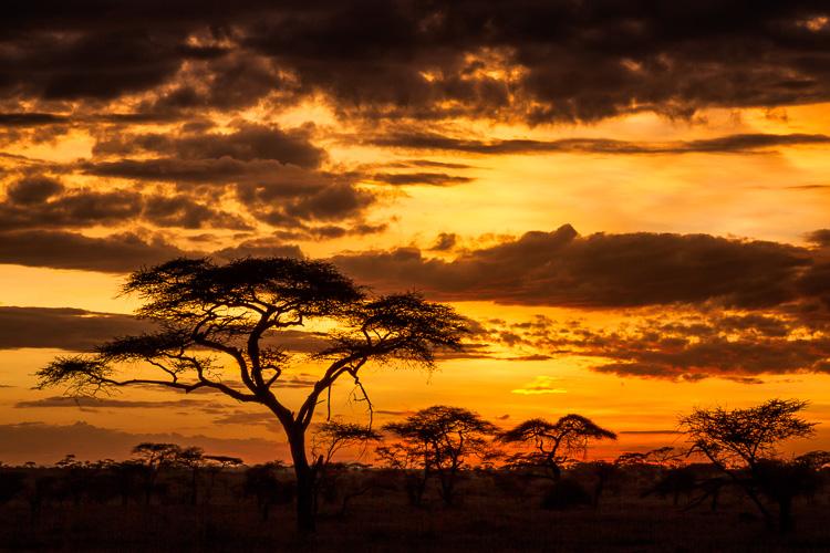Acacia tree or umbrella thorn in Serengeti National Park, Tanzania.