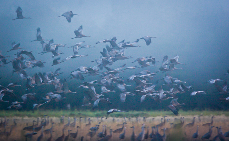 A flock of Sandhill Cranes during migration. You only get a few weeks each years to catch big flocks of this species, so you need to be ready.
