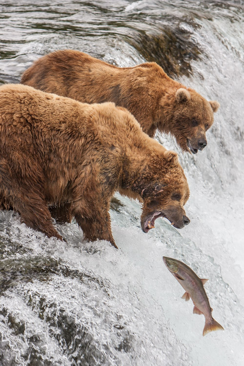 Red Salmon, which run up the Brooks River and leap the falls, are most abundant in July. If you don't catch the run, you won't see the bears trying to catch them at the falls.