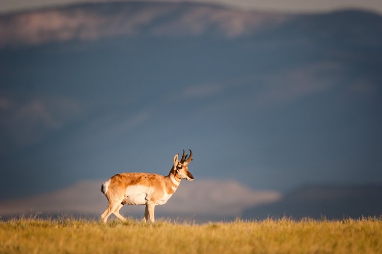 A Pronghorn in southern Wyoming, first light.