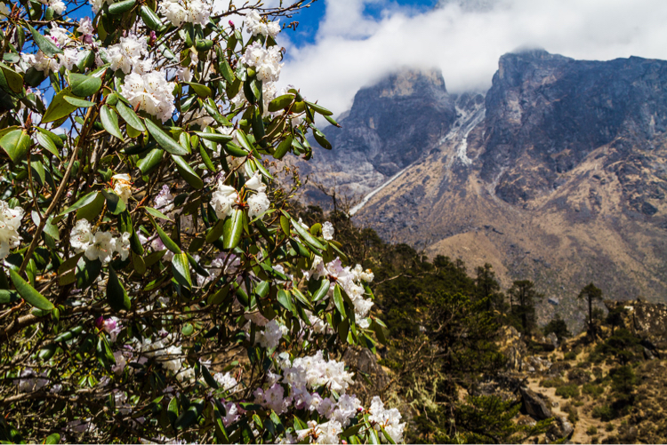 Rhododendrons in the Himalayas, Nepal