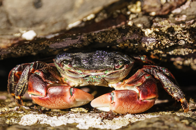Crab at Big Sur, California