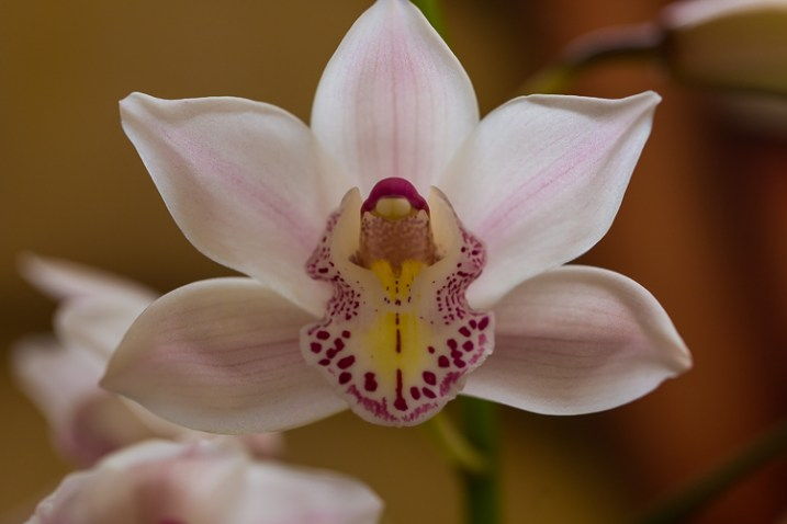 orchid nature photo