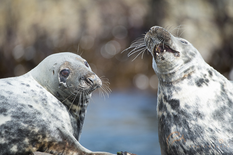 atlantic seals