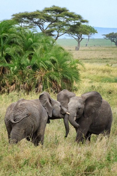 Two elephants playing in Serengeti National Park, Tanzania by Anne McKinnell