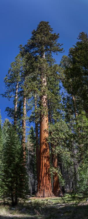 PWC-Sequoia in Mariposa Grove