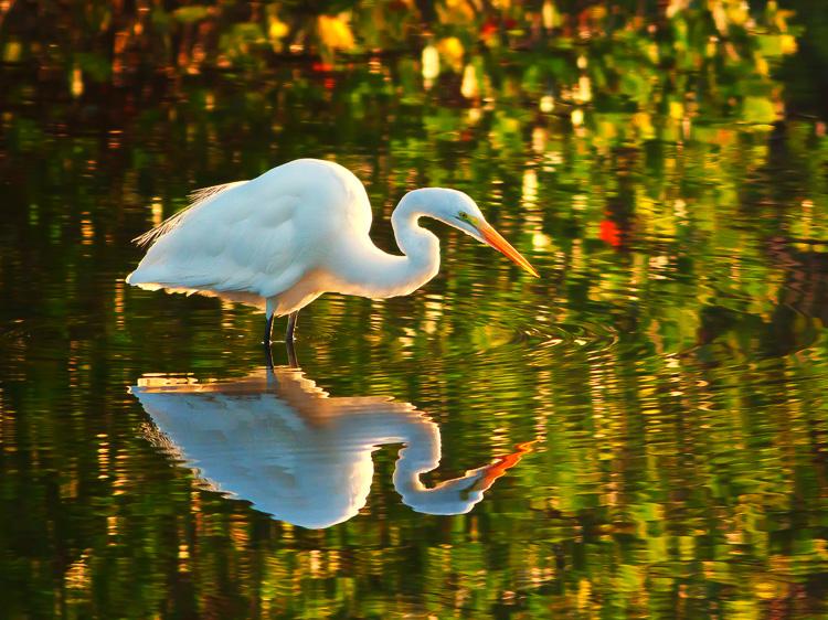Great White Egret by Anne McKinnell