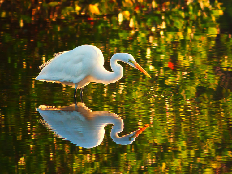 Great White Egret by Anne McKinnell
