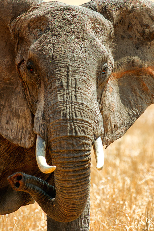 Elephant in Tarangire National Park, Tanzania by Anne McKinnell