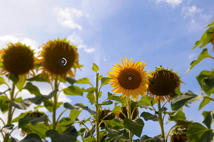 sunflowers-pins-field-focus