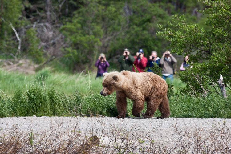 In Katmai National Park at the famous Brooks Falls tourists are inescapable. In this image, I embraced that part of the story of being there.