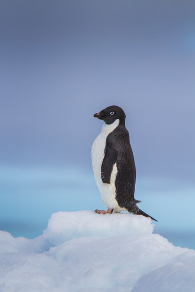 This image of an Adelie Penguin on an iceberg, I made in Antarctica. Getting close to wildlife is easy there, and the following image provides information to see just how easy.