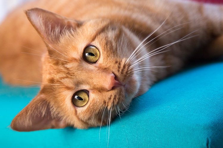 My camera-loving orange tabby Carter, shot in low light, requiring a relatively high ISO of 1600 to get a fast enough shutter speed to hand hold. ISO 1600, 1/125th, F4 @ 105mm.