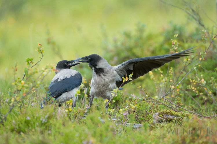 Two hooded crows engaged in a scrap.