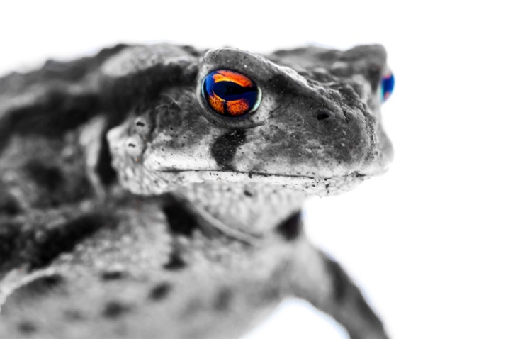 Lightbox macro photography 001 toad