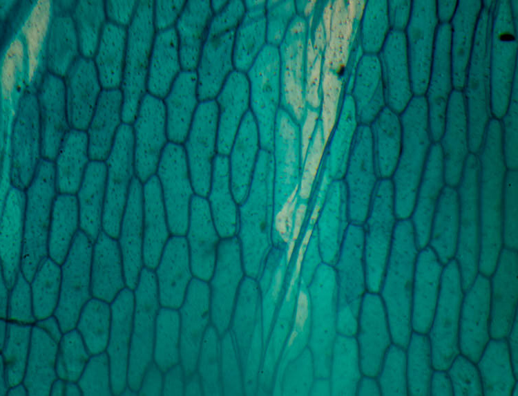 photomicroscopy photomicrograph micrograph - onion skin