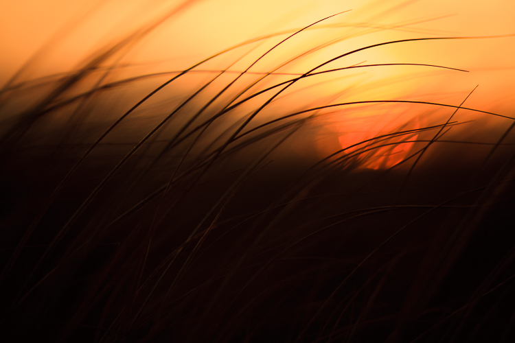 shooting through grasses at sunset