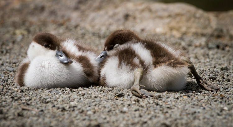 Image: Sleeping ducklings, so fuzzy and cute. Taken flat out on my stomach with a long lens to keep...
