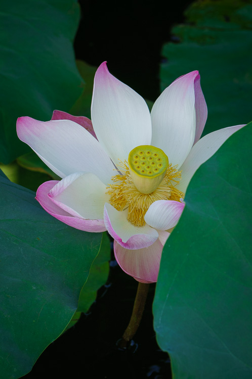 How to Make the Most of Harsh Midday Sun - lotus flower