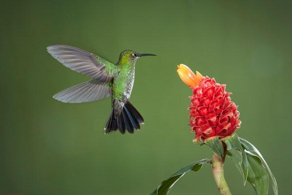How to Photograph Hummingbirds