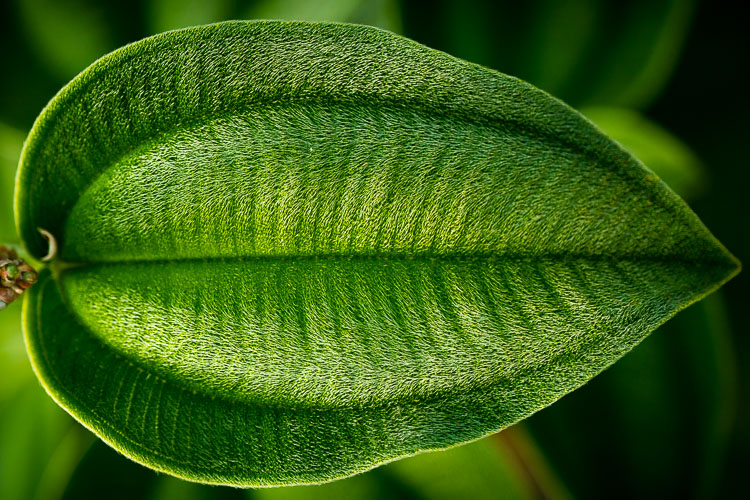 Low Impact Nature Photography - velvet leaf