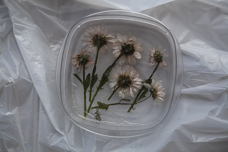 Image: Flowers fixed in place by a few centimeters of frozen water